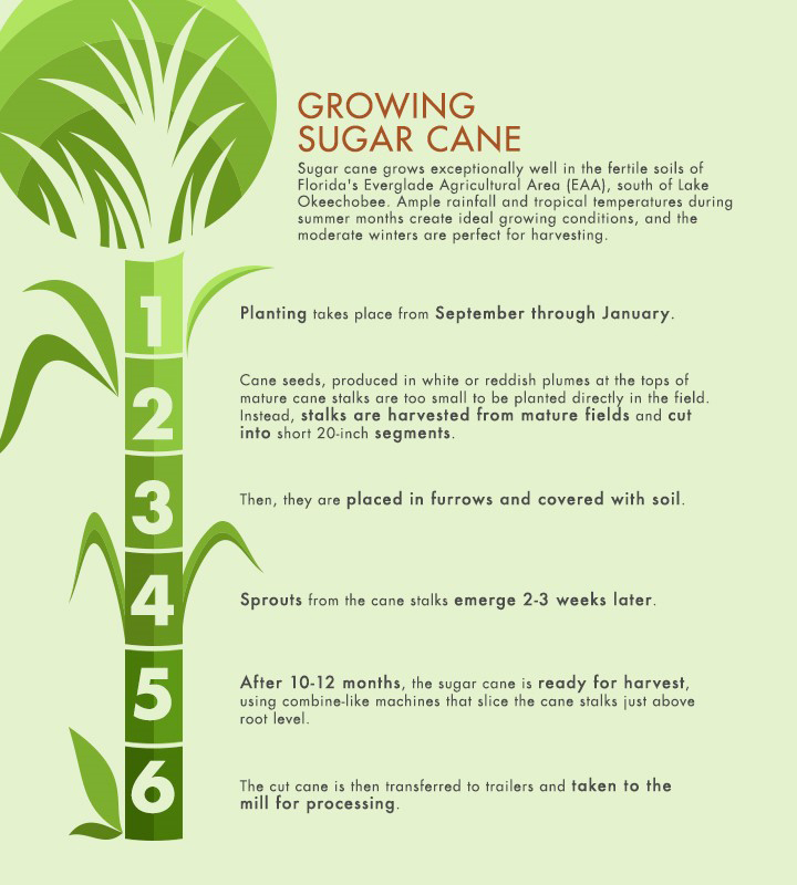Learn more about the six stages of growing sugar cane.